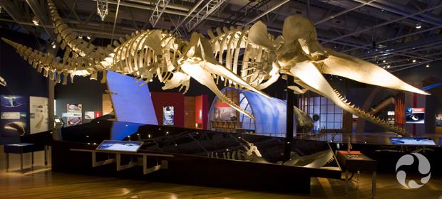 Deux squelettes de cachalot, Physeter macrocephalus, suspendus au plafond dans la galerie d'un musée.