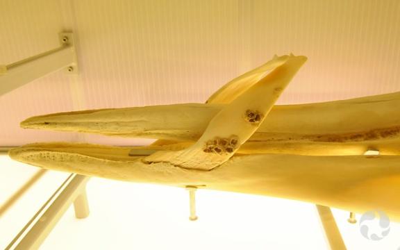 Détail d'un crâne de mésoplodon de Layard, Mesoplodon layardii, montrant les balanes fixées sur les dents incurvées de l'animal.