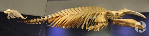Les squelettes d'un dauphin d'Hector, Cephalorhynchus hectori, et d'une baleine franche pygmée, Caperea marginata, suspendus au plafond d'une salle d'exposition.