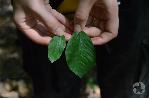 Les mains d'une femme tenant deux feuilles de nerprun d'espèces différentes : le nerprun commun, Rhamnus cathartica, (à gauche) et le nerprun bourdaine, Frangula alnus.