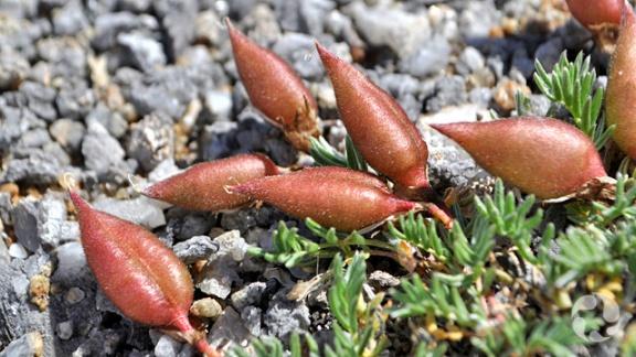 L'oxytrope à gros fruits, Oxytropis podocarpa, dans la nature.