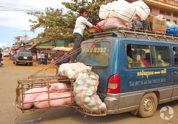 Un jeune garçon se tient à l'arrière d'une camionnette surchargée de bagages et transportant à l'arrière des cages avec des cochons.