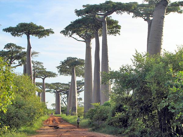 Une avenue bordée d'immenses baobabs de Grandidier, Adansonia grandidieri.