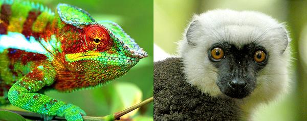 Collage de deux photos : un caméléon panthère, Furcifer pardalis (à gauche) et un lémur à front blanc, Eulemur albifrons.