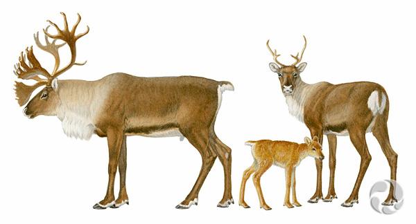 Illustration en couleur de caribous des bois, Rangifer tarandus caribou.
