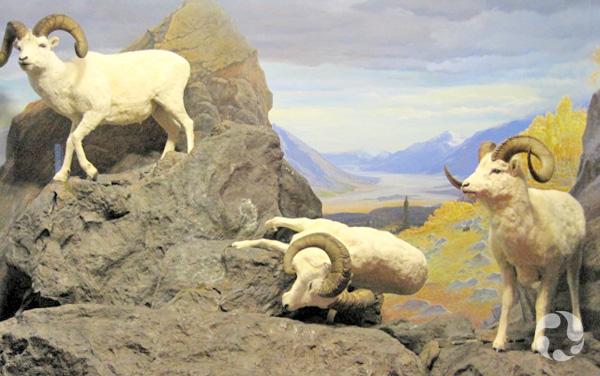 Le diorama du mouflon de Dall, Ovis dalli, avec un animal renversé.
