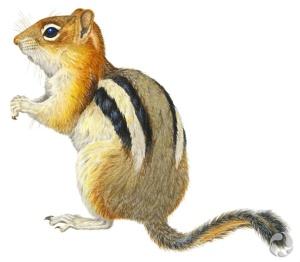 Illustration en couleur d'un spermophile à mante dorée, Spermophilus lateralis.
