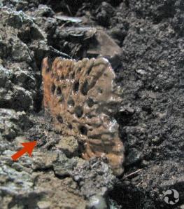 Un fossile sort de la paroi.