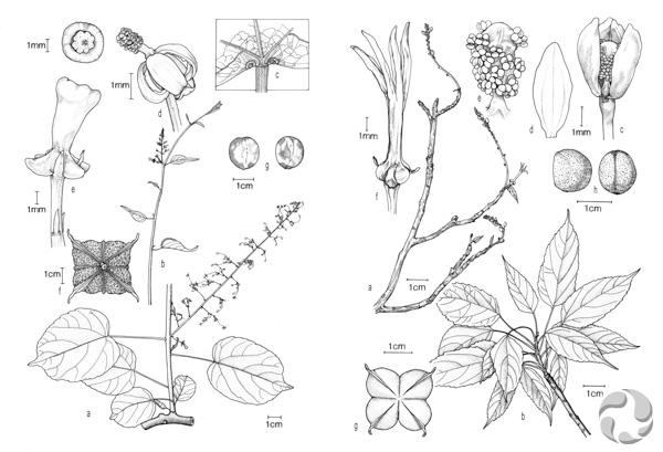 Collage de deux dessins au crayon montrant diverses parties des plantes Plukenetia ankaranensis (à gauche) et Plukenetia decidua (à droite).