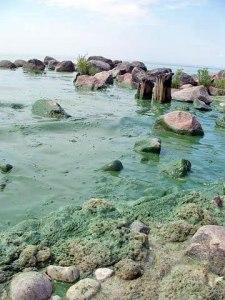 Des algues bleu-vert recouvrent l'eau et des rochers en bordure du lac Winnipeg.