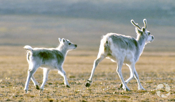 Deux caribous de Peary, une femelle et un petit, courent dans la toundra.