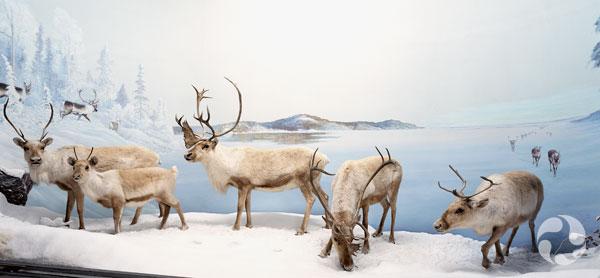 Le diorama des caribous, Rangifer tarandus, au Musée canadien de la nature.