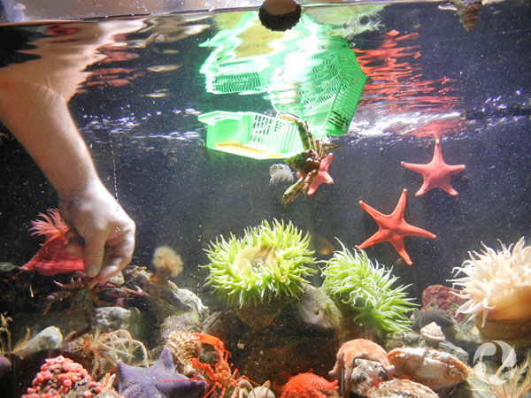 Un crabe décorateur, Oregonia gracilis, est accroché par une patte à un contenant en plastique qui flotte dans un aquarium remplis d'animaux marins.