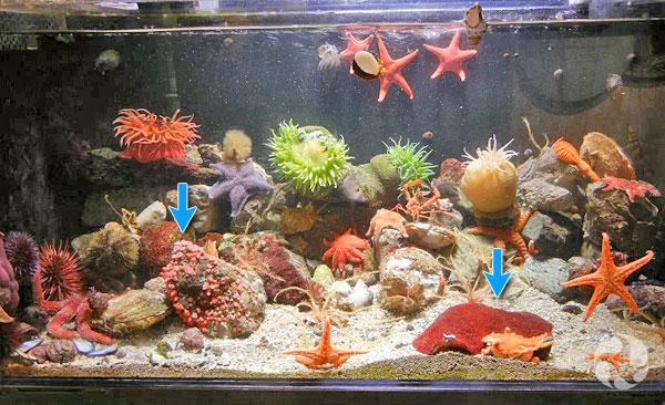 Un aquarium contenant plusieurs animaux marins. Des flèches pointent vers des anémones coralliennes rouges, Corynactis californica, et un Crytochiton stelleri.