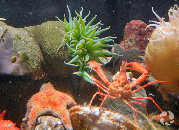 Bataille entre une grande anémone verte, Anthopleura xanthogrammica, et un crabe Chorilia longipes.