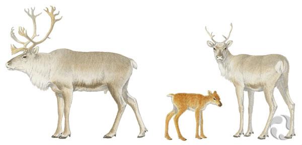 Illustration de trois caribous de Peary, Rangifer tarandus pearyi: un mâle, une femelle et un petit.
