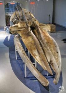De grandes taches sombres sont visibles sur les os du crâne d'un rorqual.
