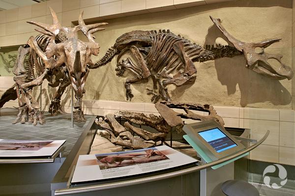 Un squelette de Styracosaurus assemblé dans la Galerie des fossiles Talisman Energy.