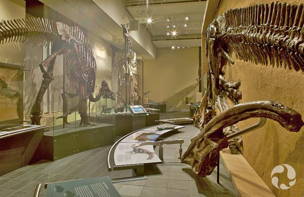 Un squelette d'Hypacrosaurus assemblé dans la Galerie des fossiles Talisman Energy.
