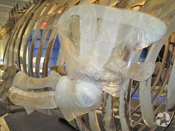 Des os du squelette de rorqual bleu enveloppés d'un cataplasme d'ammoniac et de plastique.