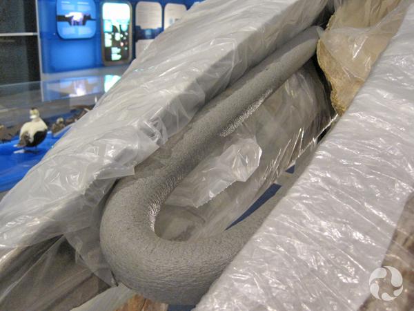 Une nouille de plastique repliée maintient le cataplasme en place sur le crâne du rorqual bleu.