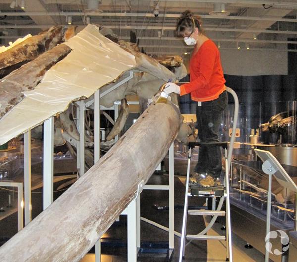 Une femme debout sur un escabeau nettoie le squelette d'un rorqual bleu à l'aide d'un aspirateur portatif et d'un pinceau.