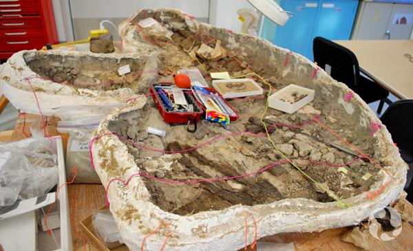 Une coque de plâtre ouverte au laboratoire avec son contenu de roches et de fossiles.