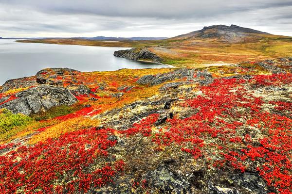 Des plantes rouge vif et jaune or recouvrent des rochers en bordure d'un cours d'eau, dans un paysage doucement vallonné du Nunavut.