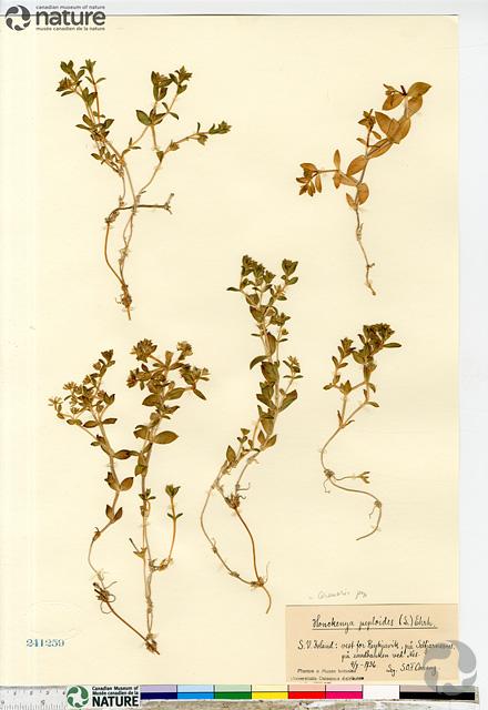 Feuille d'herbier de Honckenya peploides CAN241259.