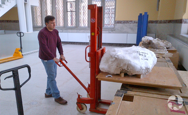 Au Musée, un homme tire un chariot sur lequel est placée la coque de plâtre contenant le fossile Coup de massue.