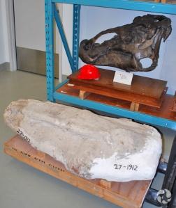 Une coque de plâtre est disposée sur la palette d'un chariot élévateur, devant une étagère en métal où se trouve le crâne préparé d'un Edmontosaurus regalis.