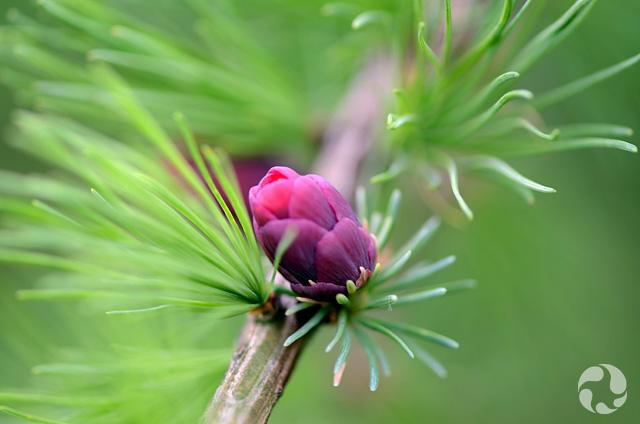 Un cône et des aiguilles de conifère poussant sur une branche.