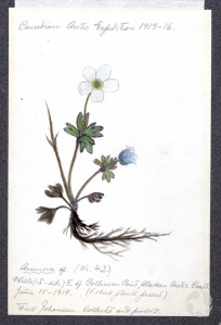 Un spécimen de plante dessiné au crayon de couleurs et annoté.