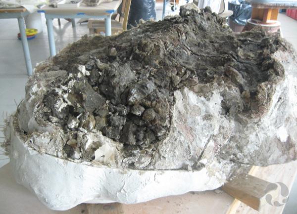 Vue de la coque de plâtre ouverte révélant la roche et les os fossiles d'un ankylosaure.