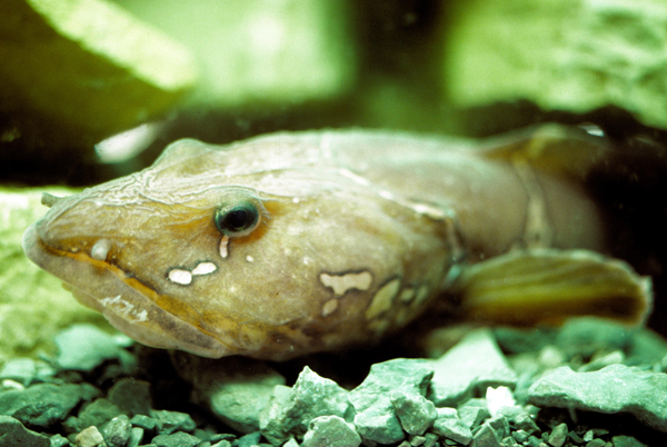 Une lycode de l'espèce Lycodes mucosus nageant au fond de l'océan.