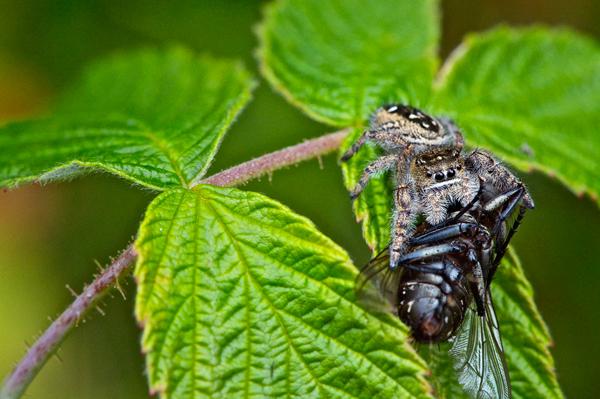 Une saltique (une araignée sauteuse de la famille des salticidae) dévore une mouche sur une feuille de framboisier.