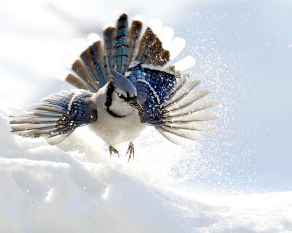 Un geai bleu, Cyanocitta cristata, dans la neige, les plumes déployées.