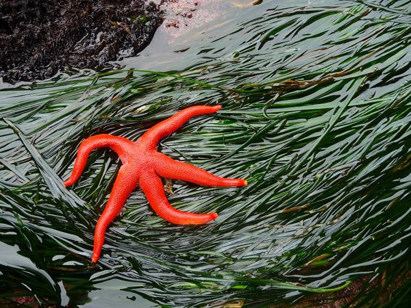 Étoile de mer de l'espèce Henricia leviscula reposant sur du varech marin, Zostera marina.