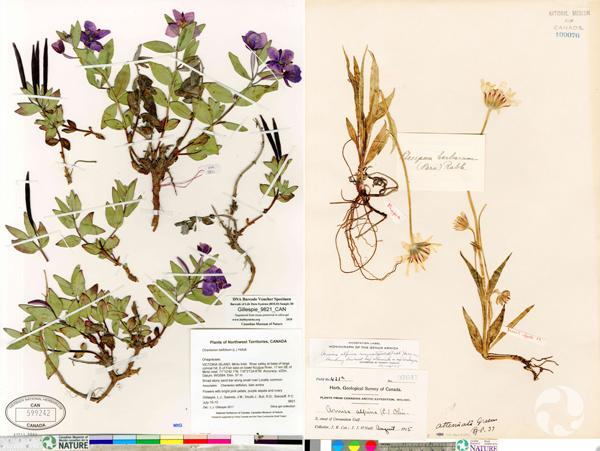 Collage de deux images de spécimens d'herbier: épilobe à feuilles larges, Chamerion latifolium, à gauche, et arnica à feuilles étroites, Arnica angustifolium, à droite.