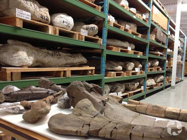 Vue d'os fossiles sur une étagère.