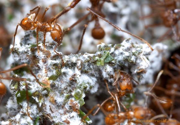 Des fourmis Atta cephalotessur un amas de bouts de feuilles couvertes d'une moisissure blanche.
