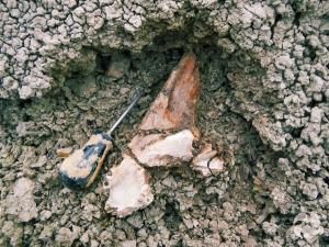 Une partie du haut du crâne d'un tyrannosaure.