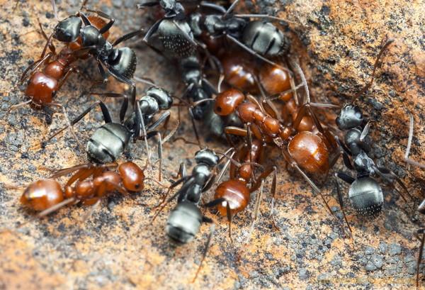Des fourmis appartenant à deux espèces différentes ensemble sur le sol.