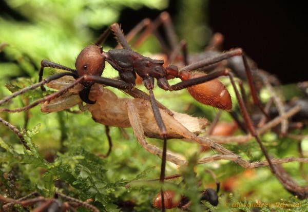 Une fourmi Eciton burchelliitransporte une araignée sous elle.