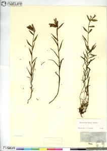 Un spécimen de Castilleja raupii (CAN 230262) sur une feuille d'herbier.