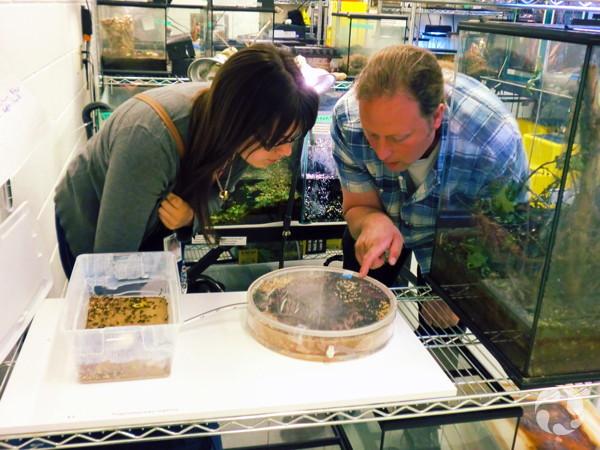 Catherine Couture et Stuart Baatnes penchés sur un nid de fourmis dans le laboratoire des animaux vivants du Musée.