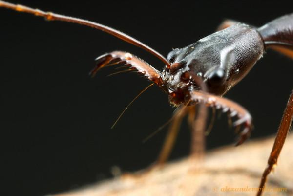 Plan détaillé de la tête d'une fourmi Odontomachus coquereli.