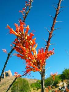Un buisson épineux en fleurs dans le désert de l'Arizona.