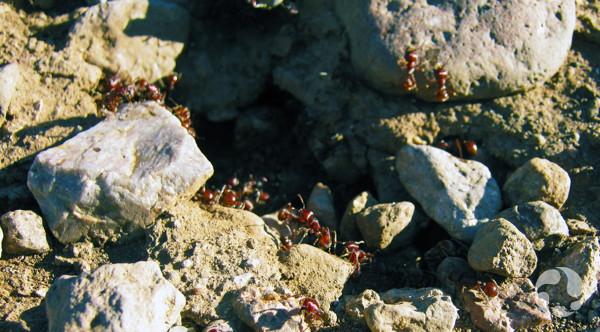 Des fourmis moissonneuses, Pogonomymex rugosus, circulent parmi les petites roches à l'entrée d'un nid.
