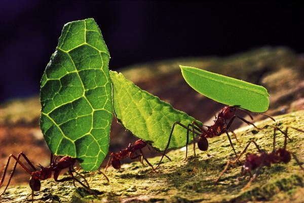 Des fourmis champignonnistes, Atta cephalotes, transportant des feuilles.